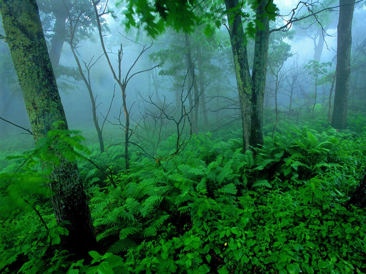 Forest Mist, Shenandoah National Park, Virginia