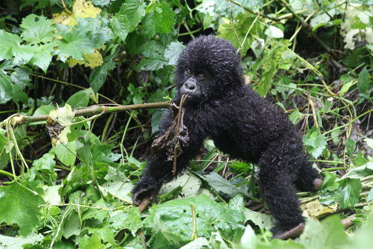 A baby of the Humba mountain gorilla family chomps on leaves and twigs, balancing unsteadily on its feet. Virunga is home to around a quarter of the world's remaining 880 mountain gorillas, but volatility in the park means they're regularly in danger.