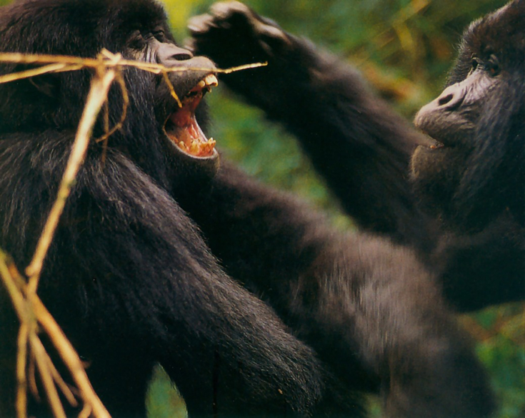 Two   Juvenile   Gorillas At  Play